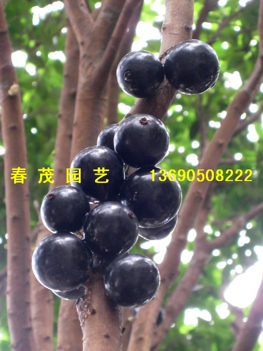 嘉宝果 树葡萄 罗汉松 台湾黄金紫檀 嘉宝果树 春茂园艺中...